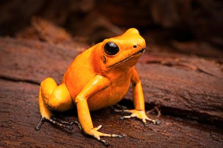 giftige kikker, pijlgifkikker Phyllobates terribilis een gevaarlijk dier uit het tropisch regenwoud van Colombia. Giftige amfibie met heldere gele en oranje kleuren