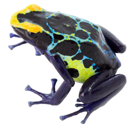 rana venenosa: rana venenosa dendrobates tinctorius en blanco