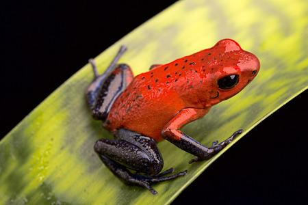 grenouille: poison rouge flèche grenouille, Dendrobates pumilio de la forêt tropicale du Costa Rica conservé dans un terrarium tropical comme un animal de compagnie Banque d'images