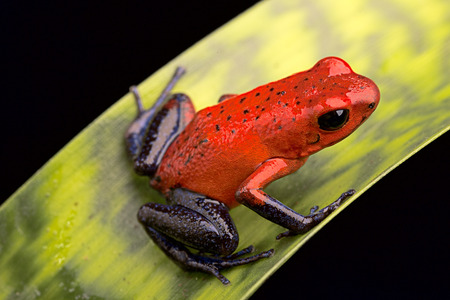 red poison arrow frog, Dendrobates pumilio from the tropical rain forest of Costa Rica kept in a rainforest terrarium as a pet animal Archivio Fotografico