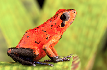 strawberry frog: red poison arrow frog, Dendrobates pumilio from the tropical rain forest of Costa Rica kept in a rainforest terrarium as a pet animal Stock Photo