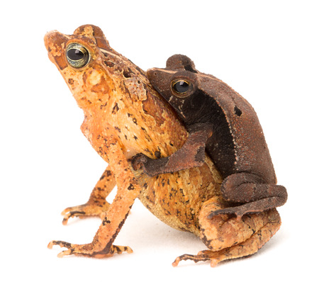 amazon rain forest: tropical mating toads, Rhinella typhonius a small frog from the Amazon Rain forest of Brazil, Bolivia, Peru and Ecuador Stock Photo
