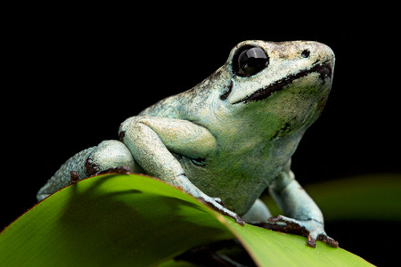 poison frog: poison arrow frog, poisonous animal Phyllobates terribilis from the tropical amazon rain forst of Colombia