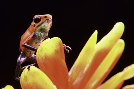 poison frog: rana venenosa roja Costa Rica y Nicaragua. Animales venenosos hermoso de la selva tropical de América Central. Macro anfibios exóticos