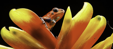 strawberry frog: red poison dart frog on bromelia flower Costa rica and Nicaragua. Beautiful poisonous animal from the central american tropical rain forest. Macro exotic amphibian