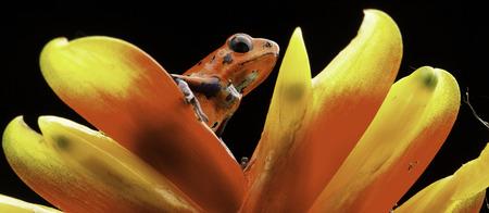poison frog: veneno rojo dardo rana en la flor de bromelia Costa Rica y Nicaragua. Animales venenosos hermoso de la selva tropical de América Central. Macro anfibios exóticos Foto de archivo