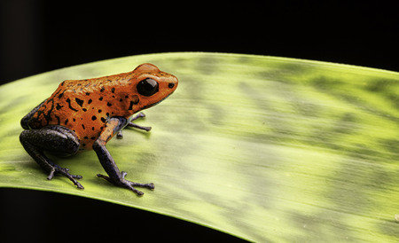 poison frog: red poison dart frog Costa rica and Nicaragua. Beautiful poisonous animal from the central american tropical rain forest. Macro exotic amphibian