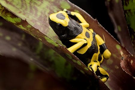 rana venenosa: Amarillo con bandas dardo venenoso amazon rana selva tropical de Guyana y Venezuela. Macro de un animal venenoso tropical como mascota en un terrario.