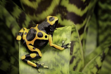 poison frog: Amarillo con bandas dardo venenoso amazon rana selva tropical de Guyana y Venezuela. Macro de un animal venenoso tropical como mascota en un terrario.