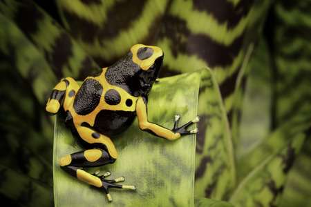 poison dart frogs: Yellow banded poison dart frog amazon rain forest of Guyana and Venezuela. Macro of a tropical poisonous animal kept as a pet in a terrarium. Stock Photo
