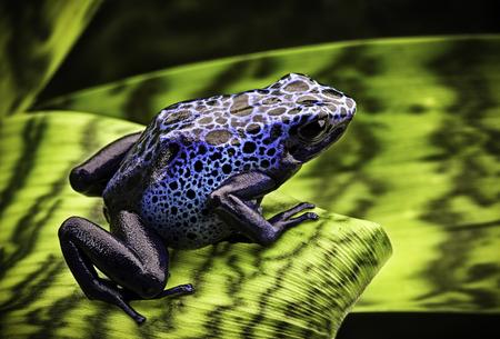 poison frog: azul rana venenosa Dendrobates Azureus. Una amazona tropical y venenosa selva animales hermosos Foto de archivo