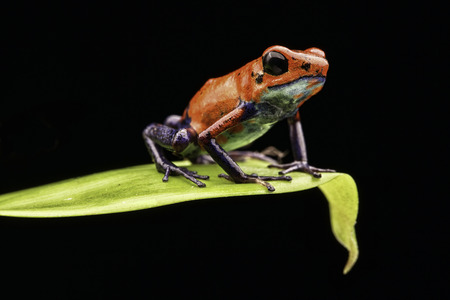 red frog: poison dart frog Costa rica and Nicaragua. Beautiful red blue poisonous animal from the central american tropical rain forest. Macro exotic amphibian