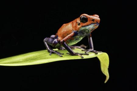 rana venenosa: rana venenosa de Costa Rica y Nicaragua. El rojo hermoso de los animales venenosos azul de la selva tropical de América Central. Macro anfibios exóticos