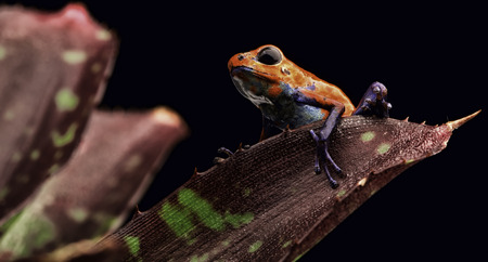 poison frog: poison dart frog Costa rica and Nicaragua. Beautiful red poisonous animal from the central american tropical rain forest. Macro exotic amphibian