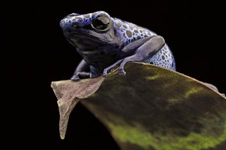 dart frog: blue frog Dendrobates Azureus. A beautiful tropical and poisonous amazon rain forest animal. Poison arrow frog or dart frog.
