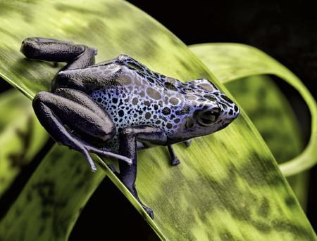 poison frog: blue poison dart frog Dendrobates Azureus. A beautiful tropical and poisonous amazon rain forest animal