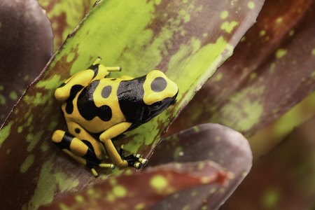 poison frog: Yellow banded poison dart frog amazon rain forest of Guyana and Venezuela. Macro of a tropical poisonous animal kept as a pet in a terrarium. Stock Photo