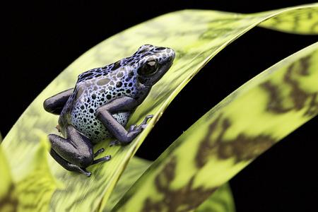 rana venenosa: rana selva amazónica Suriname Dendrobates Azureus. Veneno flecha o la rana dardo. Una amazona tropical y venenosa selva animales hermosos