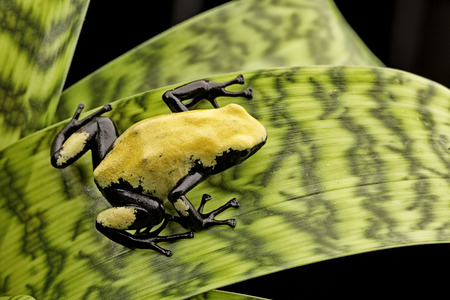 poison dart frog: Yellow poison frog Brazil rain forest, Dendrobates galactonotus. Poisonous rainforest animal, exotic tropical amphibian with warning colors.