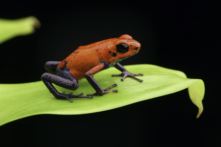 strawberry frog: poison frog Costa rica and Nicaragua. Beautiful poisonous animal from the central american tropical rain forest. Red and blue exotic amphibian