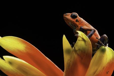 poison frog: rojo fresa ranas venenosas de Costa Rica y Nicaragua. Animales venenosos hermoso de la selva tropical de América Central. Macro anfibios exóticos
