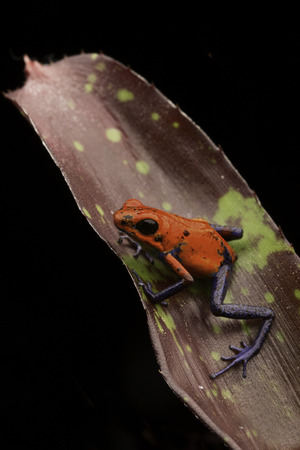 strawberry frog: red strawberry poison dart frog Costa rica and Nicaragua. Beautiful poisonous animal from the central american tropical rain forest. Macro exotic amphibian