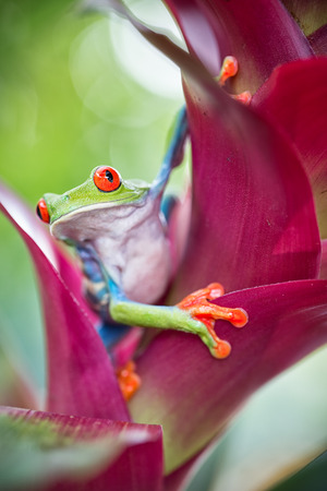 red eyed tree frog from the tropical jungle of Costa RIca and Panama? macro of an exotic rain forest animal, treefrog with bright vivid eyes
