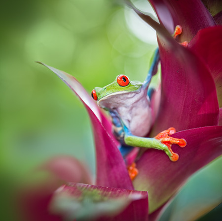 red eyed tree frog from the tropical jungle of Costa RIca, Nicaragua and Panama? macro of an exotic rain forest animal, rainforest treefrog