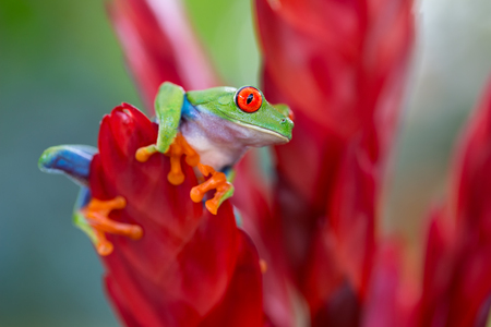 red eyed tree frog from the tropical jungle of Costa RIca and Panama? macro of an exotic rain forest animal Stock Photo