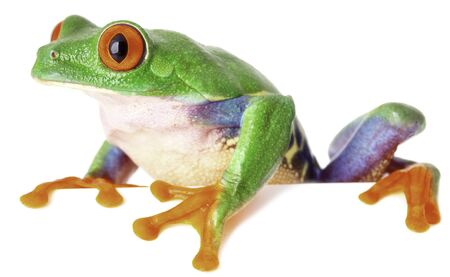 treefrog: red eyed tree frog isolated on white, a tropical treefrog from the exotic rain forest of Costa Rica Panama and Nicaragua