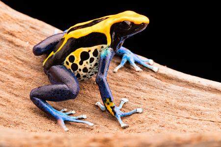 poison frog: veneno de rana, Dendrobates tinctorius un animal venenoso de la selva tropical del Amazonas en Brasil.