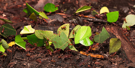 leaf cutter ant: leaf cutter ants in Amazon rainforest, Atta sp. Macro of small amazonian rainforest animals.