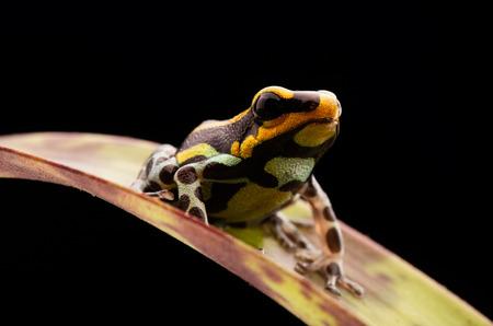 ranitomeya: poison dart frog Peru rain forest, Ranitomeya lamasi panguana. A beautiful poisonous rainforest animal from the tropical Amazon jungle.
