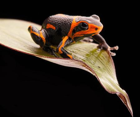 rana venenosa: rana venenosa Ranitomeya imitador, un animal venenoso de la selva tropical del Amazonas en Perú y Ecuador Foto de archivo