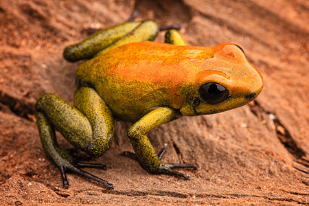 bicolor: poison arrow frog Phyllobates bicolor, a poisonous animal from the Amazon rain forest in Colombia. Amphibian macro