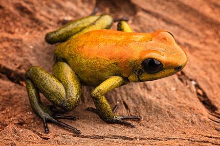 poison frog: Rana de las flechas Phyllobates bicolor, un animal venenoso de la selva tropical del Amazonas en Colombia. macro anfibio Foto de archivo
