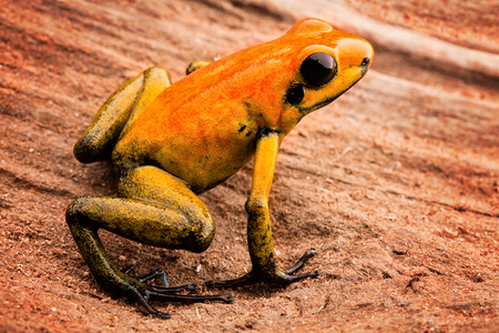 poison frog: Rana de las flechas Phyllobates bicolor, un animal venenoso de la selva tropical del Amazonas en Colombia.