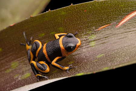 rain forest animal: dart frog Ranitomeya imitator, a poisonous animal from the Amazon rain forest in Peru and Ecuador