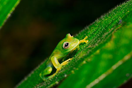 treefrog: tropical glass frog, Cocranella nola. A small tree frog from the Amazon rain forest.