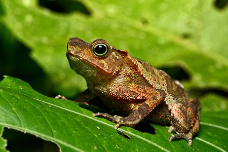 amazon rain forest: neotropical toad in Amazon rain forest; A small tropical amphibian in the Amazonian rainforest.