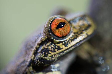 treefrog: red eyes of a tropical tree frog in the Amazon rain forest. Hyloscirtus armatus