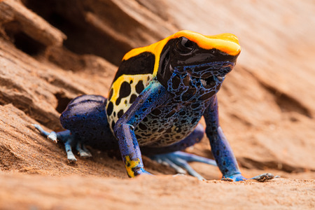 rain forest animal: yellow blue poison dart frog, Dendrobates tinctorius, a poisonous animal from the tropical Amazon rain forest in Brazil.