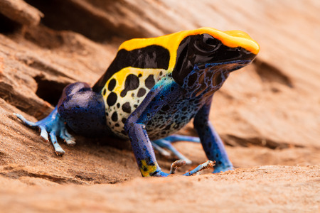 yellow and black poison dart frog: poison frog, dendrobates tinctorius a yellow blue and black poison dart frog from the Amazon rain forest in Brazil.