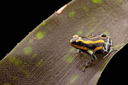 ranitomeya: Poison dart frog Peru rain forest, Ranitomeya lamasi panguana.