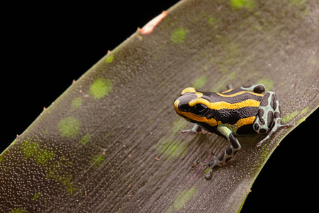 poison frog: Ranas venenosas de la selva tropical Perú, Ranitomeya lamasi Panguana. Foto de archivo
