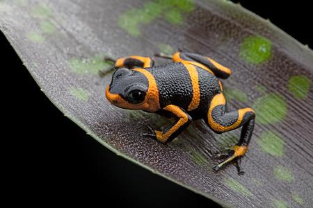 rana venenosa: veneno de rana Ranitomeya imitador, un animal venenoso de la selva tropical del Amazonas en Perú y Ecuador