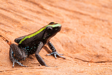 arrow poison: Poison dart frog, phyllobates aurotaenia from the tropical rain forest of the Amazon in Colombia. A poisonous animal