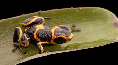 amazon rain forest: poison dart frog Ranitomeya imitator, a poisonous animal from the Amazon rain forest