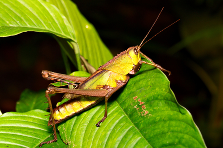 insect: grasshopper in Amazon rain forest.
