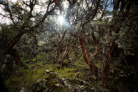 cordillera: Polylepis forest in the high Andes of Bolivia, Infiernillo.